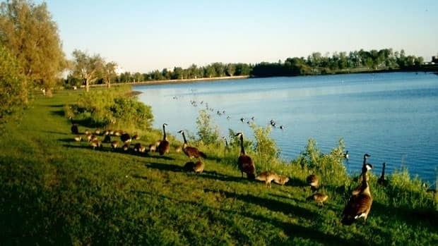 Plans are in the works to improve Thunder Bay's Boulevard Lake, including reducing the geese habitat, which is expected to help with potential water quality issues for swimming.