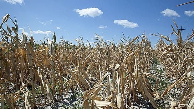 A corn field near Ashland, Nebraska, amidst the worst U.S. drought in decades