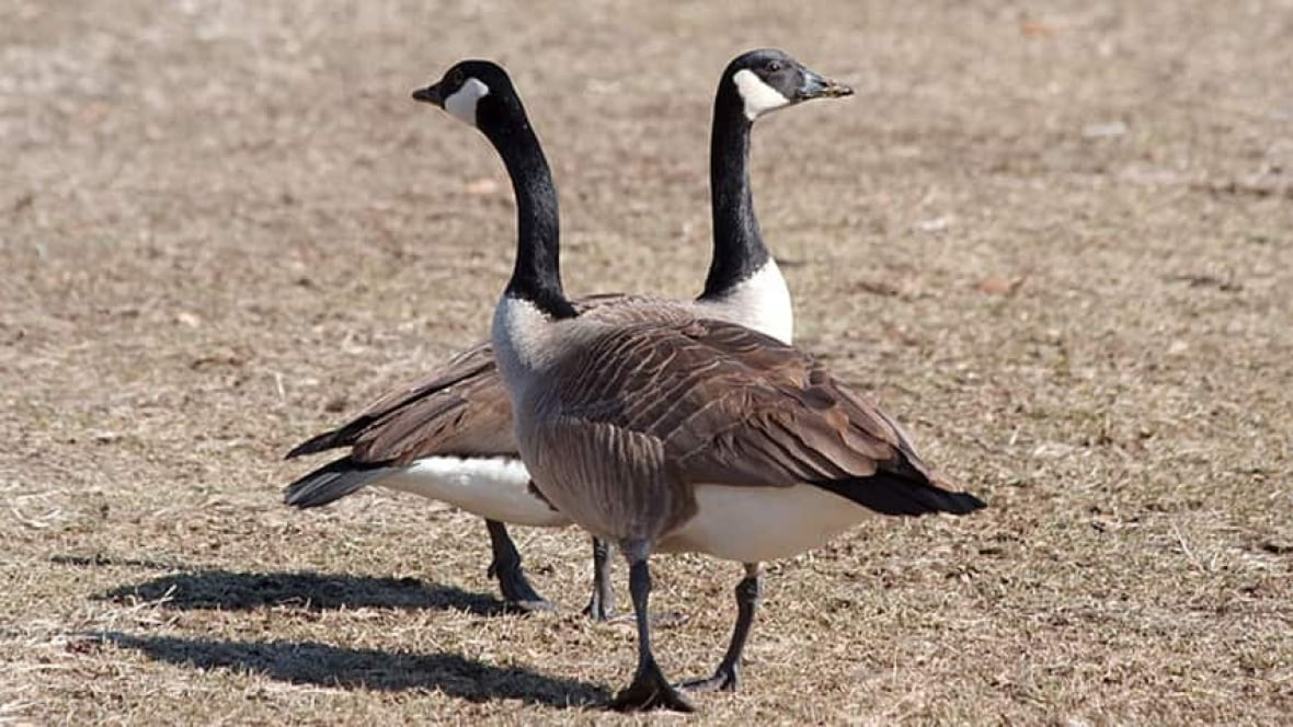 Canada Goose trillium parka sale authentic - Leave injured Wellington goose alone, urges expert - Prince Edward ...