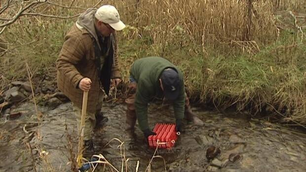 Volunteers have been busy placing 100,000 fish eggs in Rennie's River in St. John's.