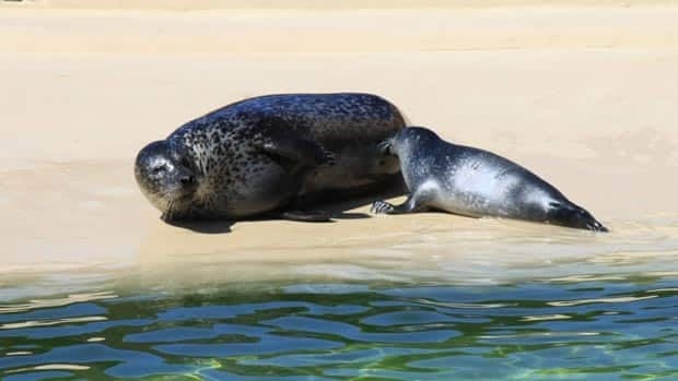 D'Amour, a new seal pup, is the latest attraction at the New Brunswick Aquarium and Marine Centre in Shippagan.
