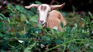 hi-bc-120212-goat-cp-01278769-4col