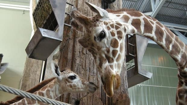 Mardi, right, is introduced to a calf born to the zoo's other adult female last April.