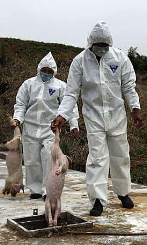 china-pigs-280-04181272