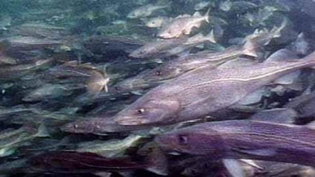 In recent years, cod has accounted for about $10 million in a fishery that had a landed value around $600-700 million, reports Fisheries Broadcast host Jamie Baker.
