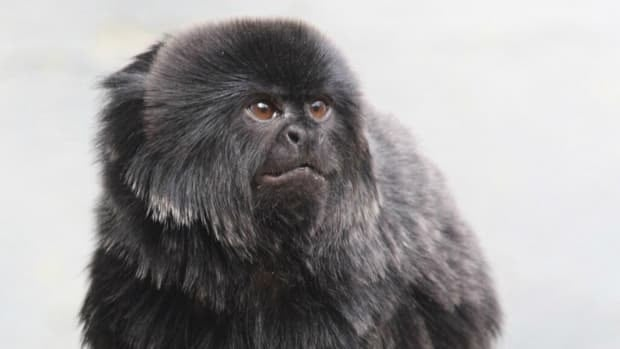 Thirty-four animals, including five Goeldi's marmosets, will be moved from the Calgary Zoo's South America building.