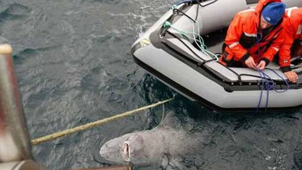 Ocean Tracking Network researchers prepare to tag a Greenland shark in Cumberland Sound in 2010.