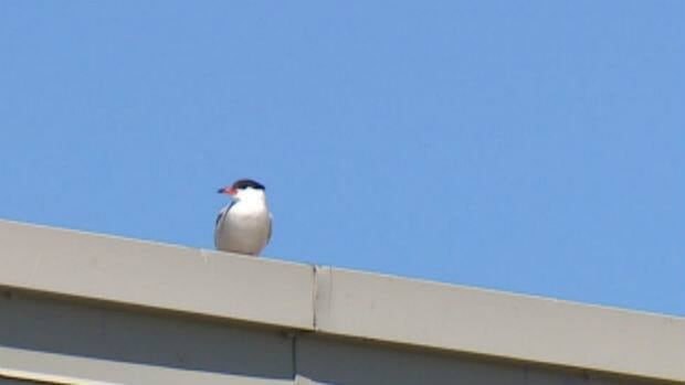 Terns have been seen nesting in an abandoned Dominion supermarket in the central area of St. John's.