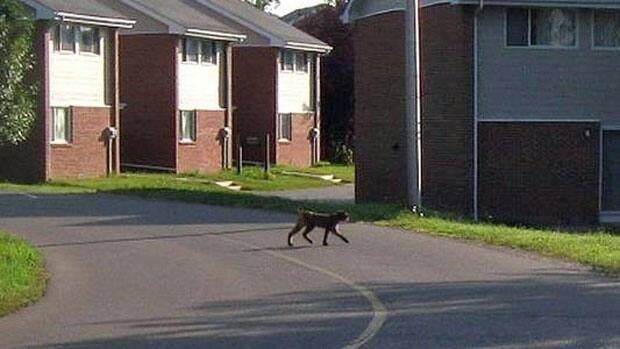 This picture of a wild animal found roaming Lakehead University's residential campus was posted on Facebook Tuesday.