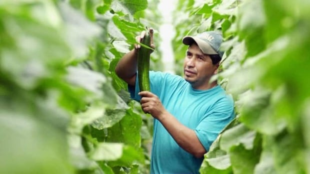 Ignancio Vazquez, a migrant worker from Cuijing, Mexico, harvests cucumbers in Leamington, Ont., on May 30, 2002.