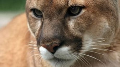 Cougar sighting near trick-or-treaters prompts warning from New Westminster police