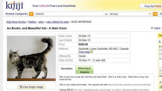 Kijiji believes Gail Benoit posted this advertisement for a Maine Coon cat.