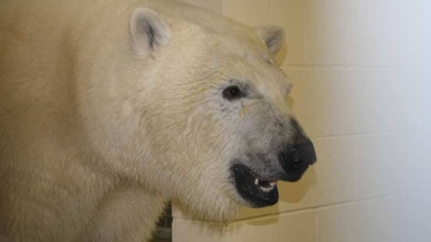 The Assiniboine Park Zoo sent this new photo of Hudson the polar bear on Tuesday. The 15-month-old bear has arrived in Winnipeg from the Toronto Zoo.