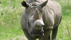 hi-bc-130709-charlie-white-rhino-greater-vancouver-zoo-1-4col