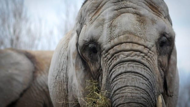 The African elephant, Toka, age 41, is moving from the Toronto Zoo after 37 years, and will be flown on Aug. 2, 2012 to San Andreas, Calif.