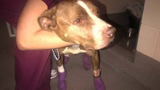 Nalla, a six-year-old pit bull, is now recovering after being dragged behind a pickup truck on Tuesday. The truck's driver has been charged with causing an animal to be in distress.