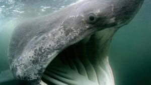 hi-nb-basking-shark-cp-6696015-852