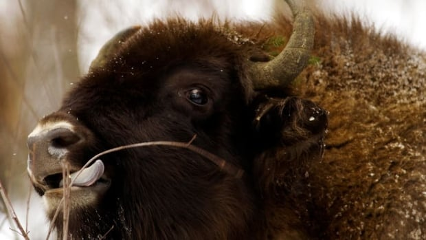 Anthrax probably killed more bison than surveyors counted, but their carcasses may be in wooded areas and weren't found by crews.