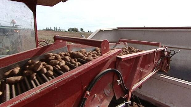 About two thirds of the Island's potato crop is harvested.