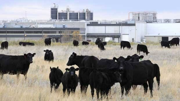 Cattle in pasture beside XL Foods' Lakeside Packers plant at Brooks, Alta., on Oct. 1. Reports from CFIA inspectors that were released under Access to Information show the plant was reprimanded six times in the months leading up to an E. coli outbreak last summer.