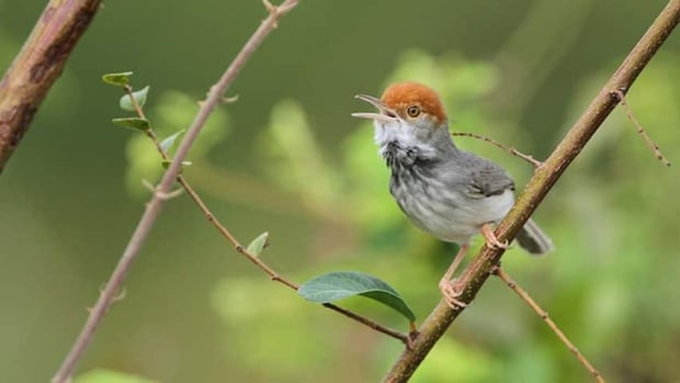 The Cambodian tailorbird was originally photographed at a construction site by a Wildlife Conservation Society scientist, who thought it was a known, similar species.