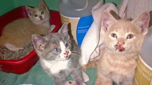 Three kittens survived after being thrown from a truck.