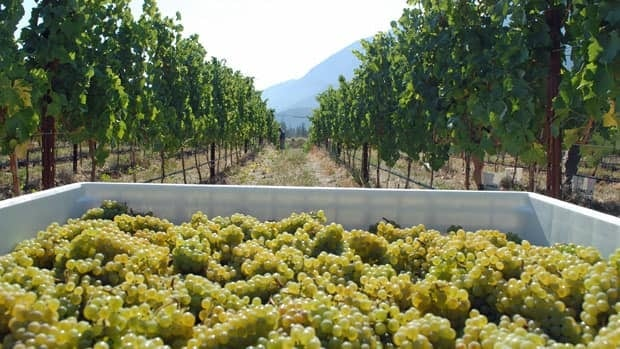 Fort Berens is now in its second harvest, picking these Chardonnay grapes in September.