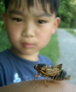 cicada-300