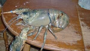 pe-mi-giant-blue-lobster