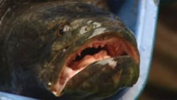 Biologists displayed the euthanized snakehead after it was captured Friday.
