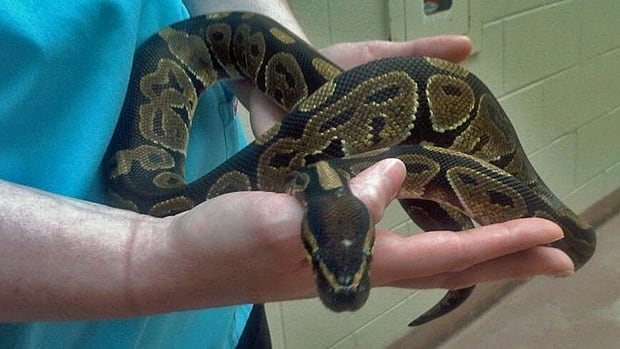 This snake was found in a parking lot by Hess Village last week.
