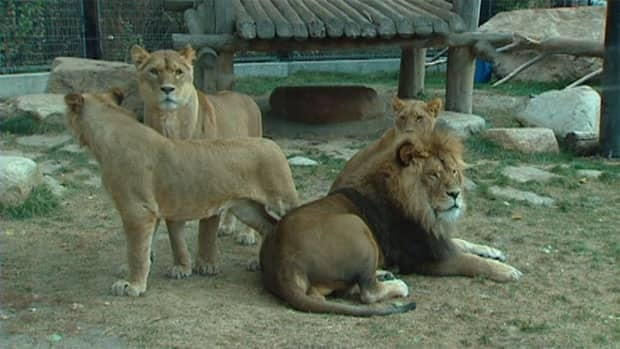 A family of lions that have been at Saskatoon's zoo for the past two years will be leaving for their home zoo in Ontario.