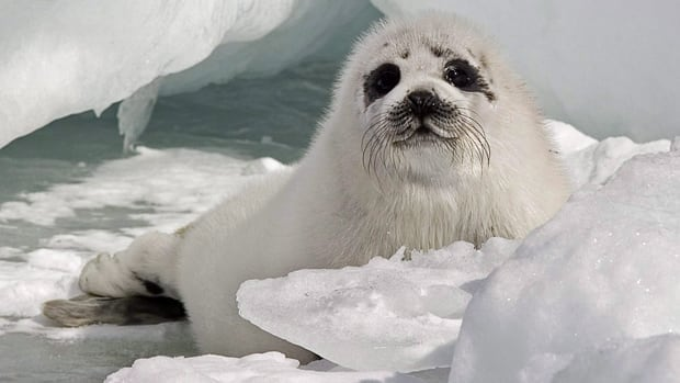 A young harp seal rests on ice floes in the Gulf of St. Lawrence in this 2009 file photo. A scientist with the department of Fisheries and Oceans says harp seals may be becoming more common and affecting ringed seal populations in Nunavut.