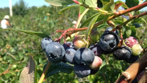 Love blueberries? Why not make a day of it and head to Nova Scotia blueberry country.