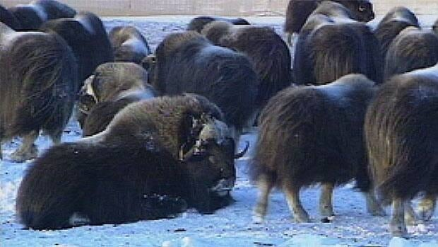 An outbreak of erysipelas has killed at least 100 muskox so far on N.W.T.'s Banks Island.