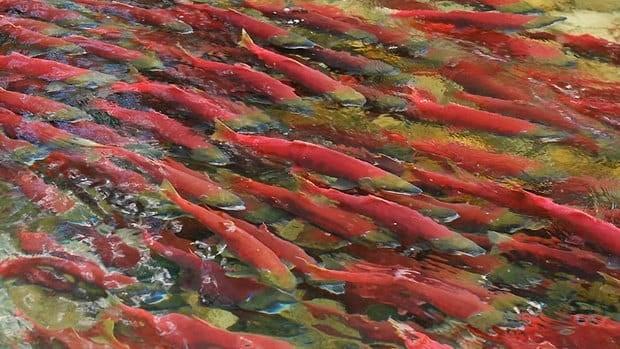 bc salmon run