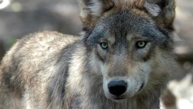 The B.C. government estimates there are 8,500 wolves, but notes the figure may actually range between 5,300 and 11,600.