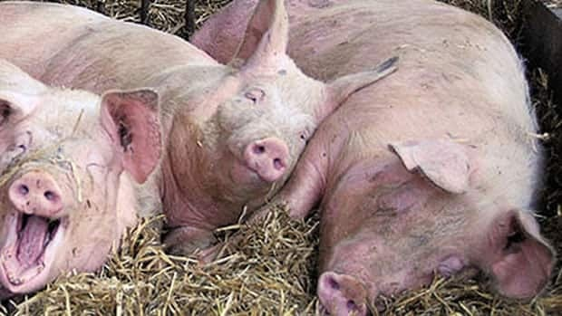Pork producers in many provinces are facing the financial distress, say Keystone Agricultural Producers.