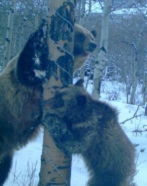 si-two-bears-tree