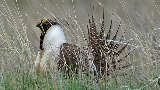 The Calgary Zoo will is set to launch a captive breeding program for the endangered greater sage grouse.