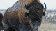 hi-bison-banff-852