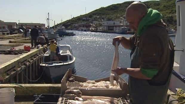 Fisherman Harry Lee prepares cod fish caught on the first day of the 2012 food fishery.