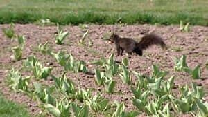 wdr-300-squirrel-tulip