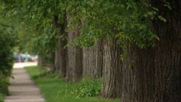 About 4,800 elm trees were marked for removal from Winnipeg in 2012 alone due to Dutch elm disease.