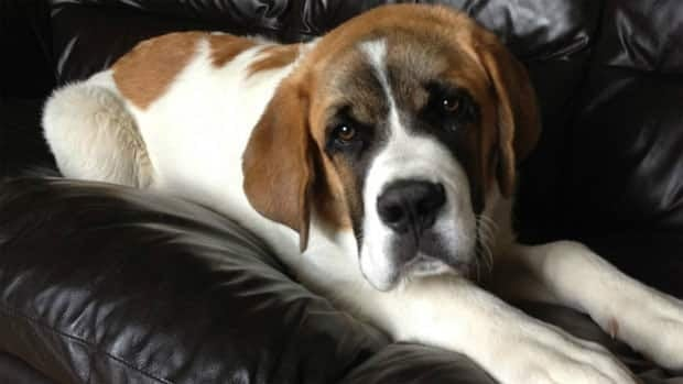 RCMP say they were called to a property in the RM of Grant April 11 and found a St. Bernard dog had been shot.