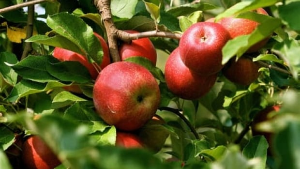 Apple farmers in Quebec say they expect a 15 per cent decrease in production compared to last year.