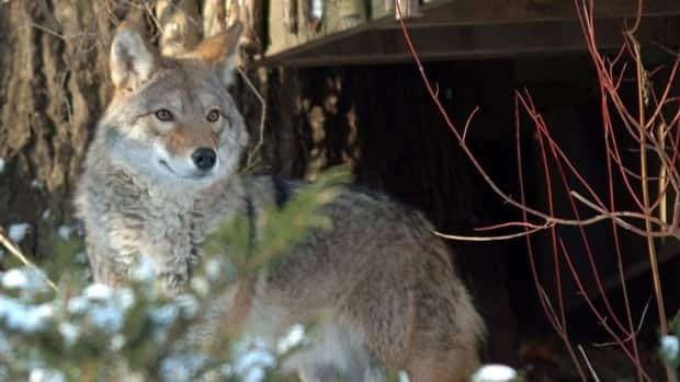 A coyote stands in a backyard of the Beach neighbourhood in 2008. There have been about 100 urban coyote sightings so far this year.