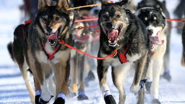 Lead dogs on the team of Louie Ambrose run during the ceremonial start of the Iditarod Trail sled dog race in 2013.