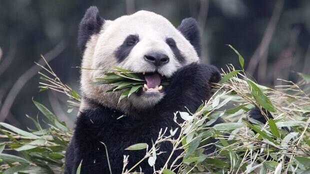 Panda Er Shun eats bamboo at the Panda House at the Chongqing Zoo in Chongqing, China, in February.