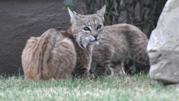 Calgary officials are warning people in Lakeview to be careful after a bobcat and her kittens were found in the area.